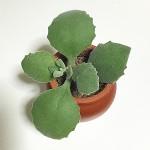 100円ショップガーデニング・園芸用品の観葉植物